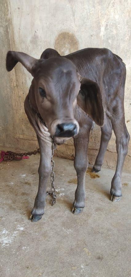 Piccola mucca della mucca sveglia indiana della mucca immagine stock