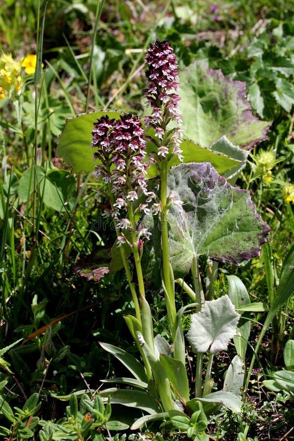 Piccola orchidea rossa dei prati (ustulata di neotinea) fotografia stock