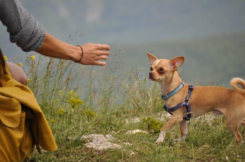 Piccola passeggiata della chihuahua nella natura fotografia stock libera da diritti