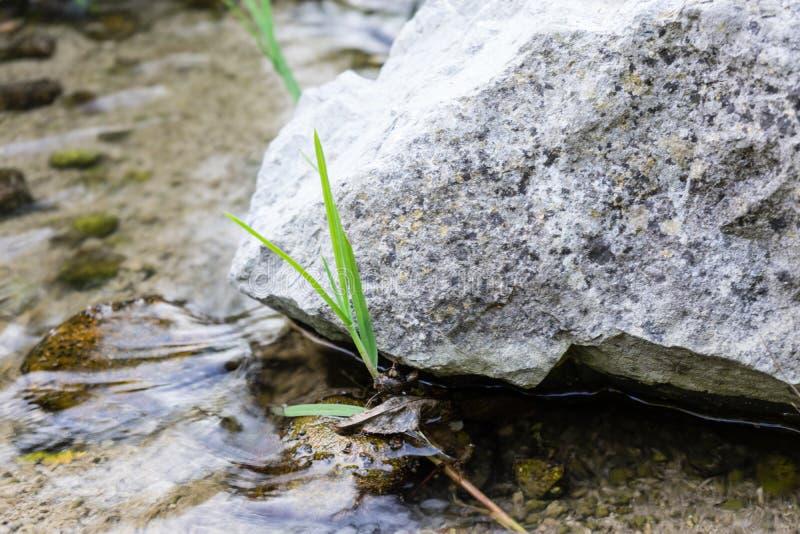 Piccola pianta che cresce accanto alla grande pietra nel fiume dell'insenatura fotografie stock libere da diritti