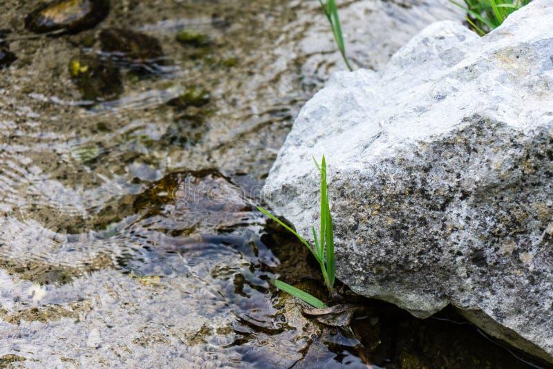 Piccola pianta che cresce accanto alla grande pietra nel fiume dell'insenatura fotografia stock libera da diritti