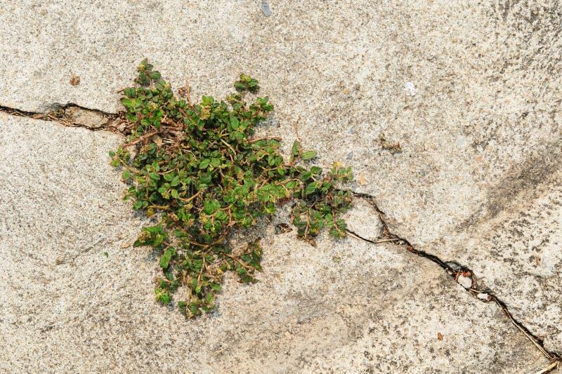 Piccola pianta che cresce sul calcestruzzo della crepa fotografia stock libera da diritti