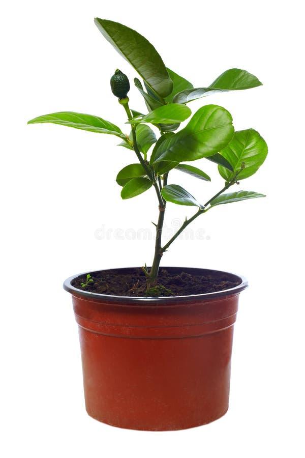 Piccola pianta conservata in vaso dell'albero di agrume, isolata su bianco fotografia stock libera da diritti