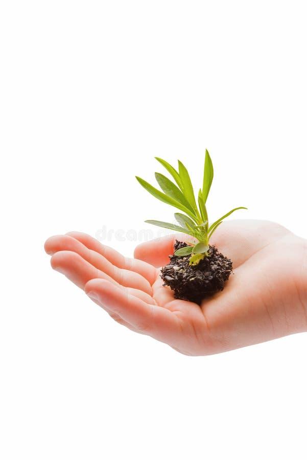 Piccola pianta consolidata in una mano dei childs fotografia stock
