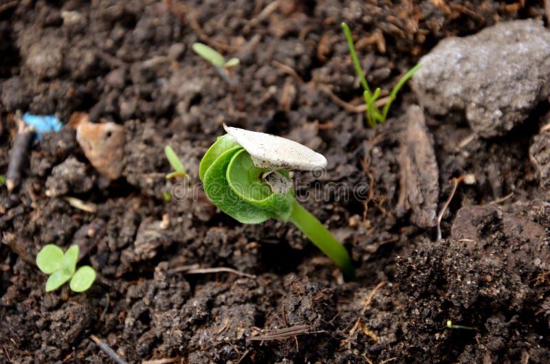 Piccola pianta della zucca immagine stock