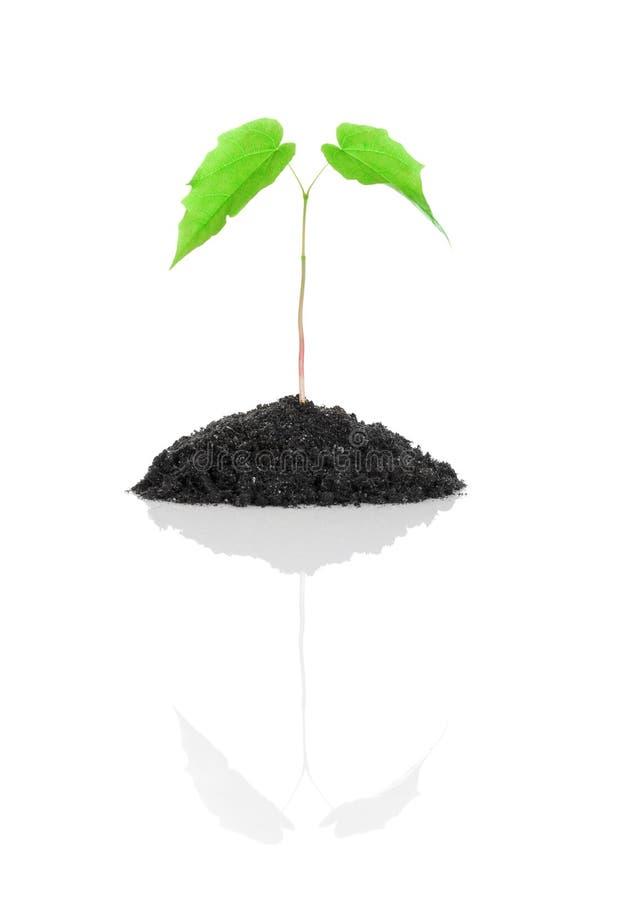Piccola pianta verde crescente isolata fotografie stock