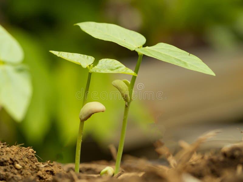 Piccola pianta verde due che cresce dal suolo fertile con il seme di germinazione Concetto dell'ambiente e di crescita fotografia stock libera da diritti