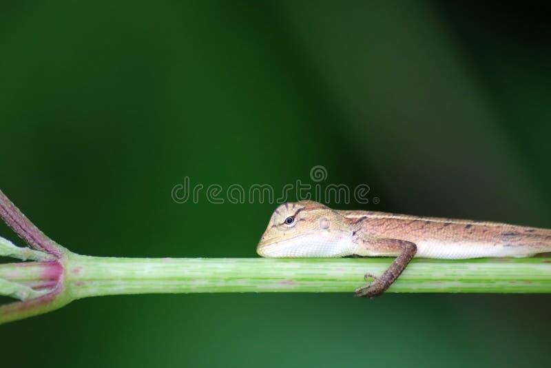 Piccola pratica della lucertola alla scalata sui rami di albero fotografie stock
