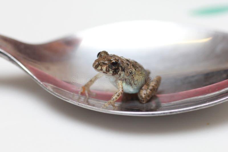 Piccola rana in un cucchiaio d'argento. immagine stock