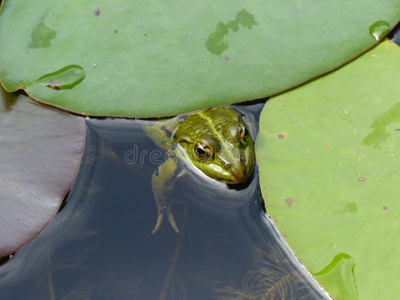 Piccola rana in uno stagno con le grandi foglie dei gigli france fotografia stock libera da diritti