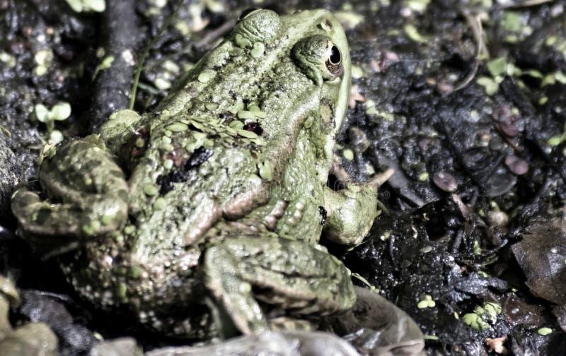 Piccola rana verde che si siede sulla riva fotografia stock
