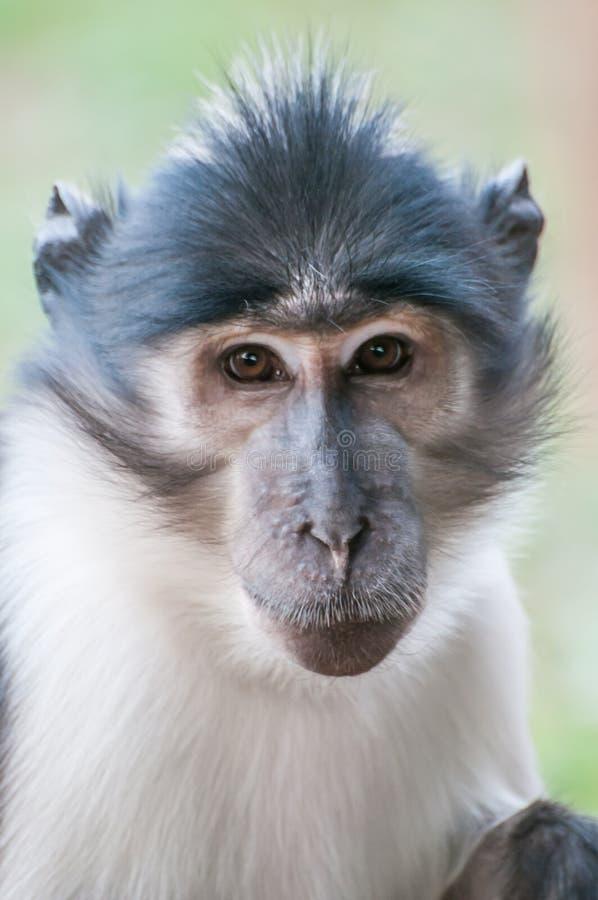 Piccola scimmia adorabile immagine stock