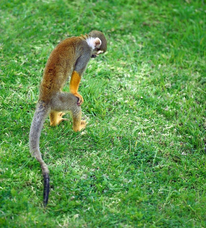 Piccola scimmia che cerca qualcosa nell'erba fotografie stock libere da diritti