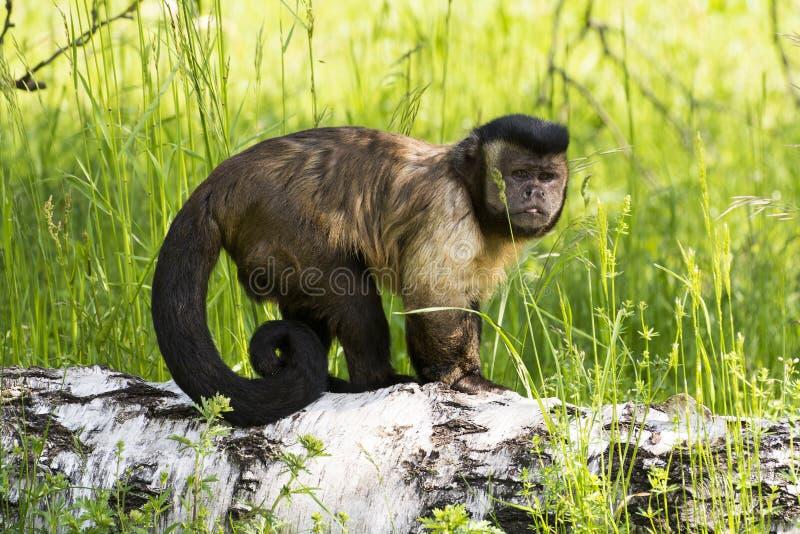 Piccola scimmia che sta su un ramo fotografia stock