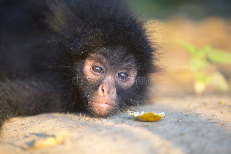 Piccola scimmia di ragno nera nel parco nazionale di Madidi, Bolivia immagine stock libera da diritti