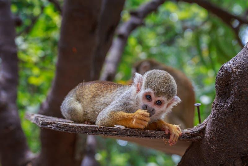 Piccola scimmia scoiattolo che mangia sulla plancia in T in zoo immagini stock libere da diritti