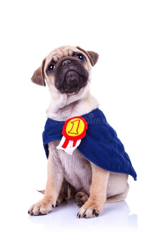 Piccola seduta sveglia del campione del cane di cucciolo del pug immagini stock libere da diritti