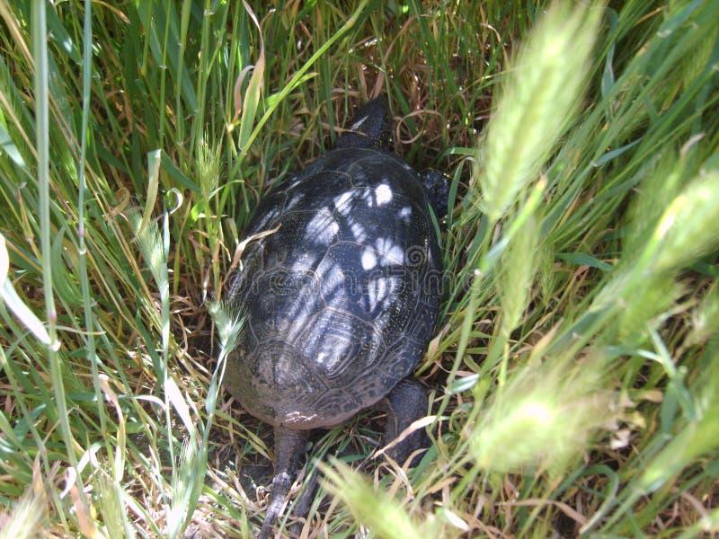 Piccola tartaruga fotografia stock libera da diritti