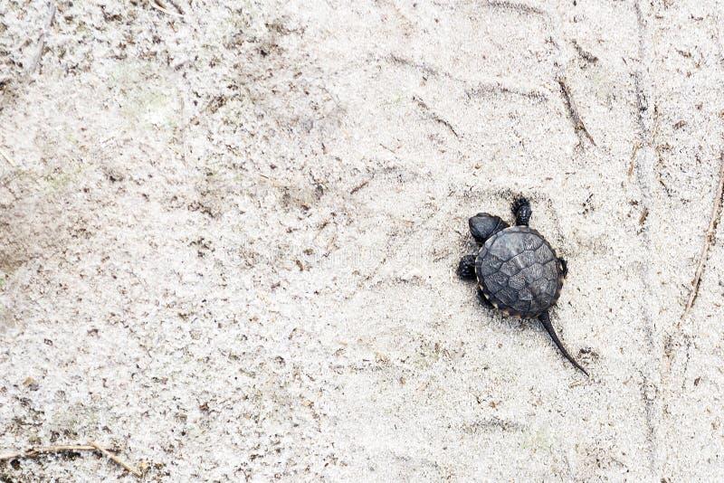 Piccola tartaruga del fiume su un fondo sabbioso Sfondi naturali Mondo animale immagine stock