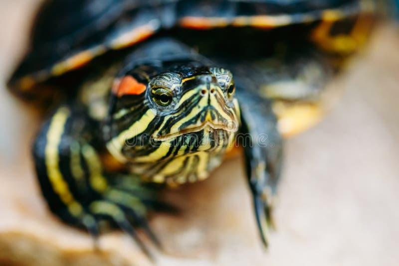 Piccola tartaruga dell'Rosso-orecchio, tartaruga d'acqua dolce dello stagno immagine stock