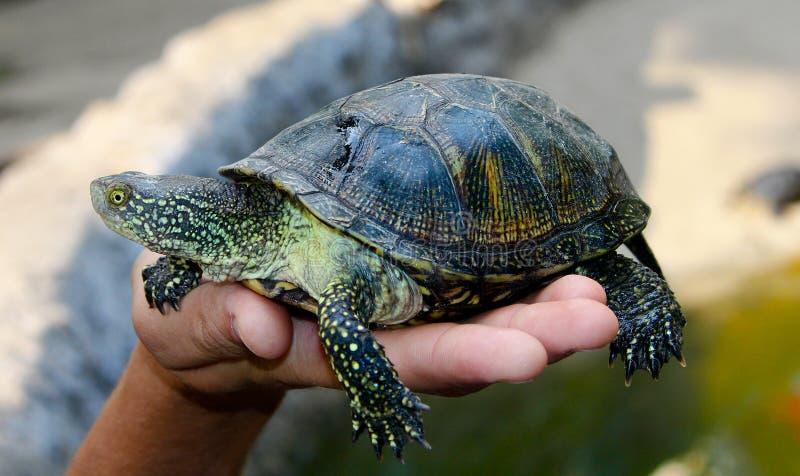 Piccola tartaruga (tartaruga) a disposizione fotografia stock