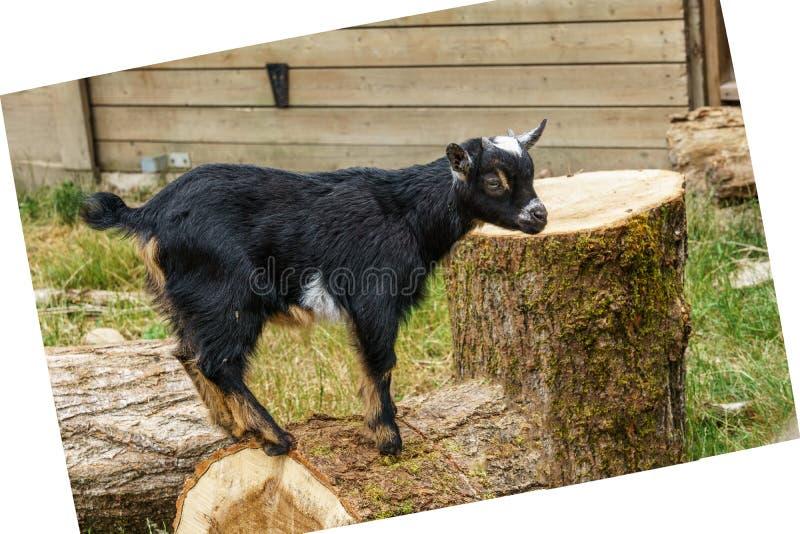 Piccola testa nera del primo piano della capra del bambino in un'azienda agricola immagini stock libere da diritti