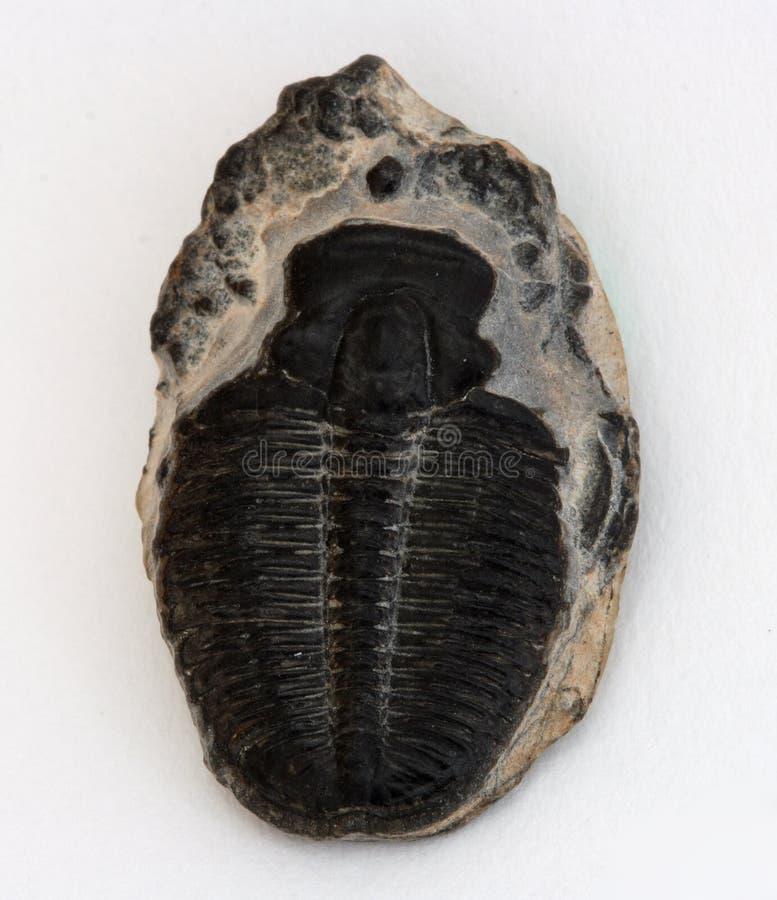 Piccola trilobite fotografie stock