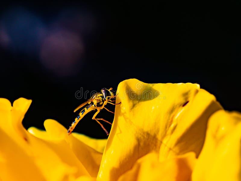 Piccola vespa gialla, mosca di librazione su un fiore giallo immagine stock