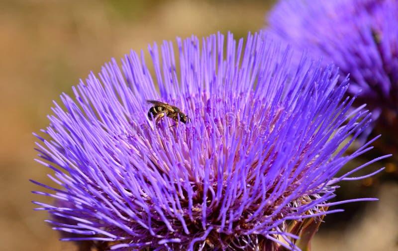 Piccola vespa sul fiore selvaggio del carciofo immagine stock libera da diritti