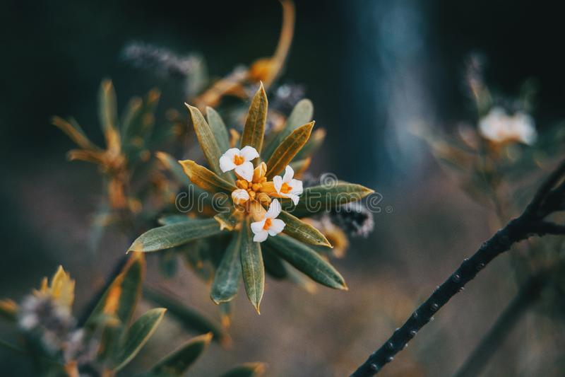 Piccole foglie dello gnidium del daphne fotografia stock libera da diritti
