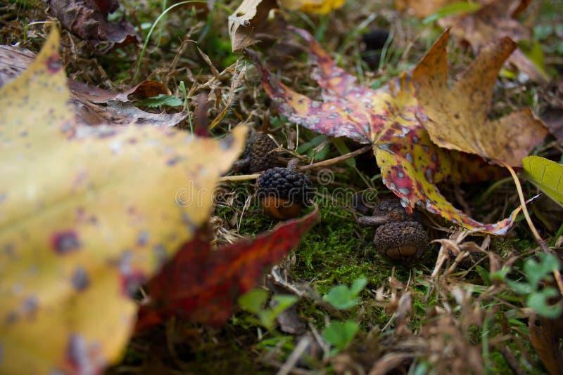 Piccole ghiande sulla terra durante l'autunno fotografia stock