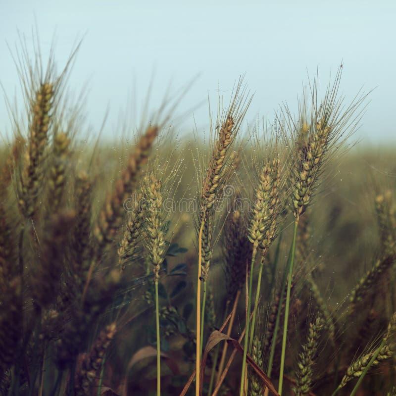 Piccole gocce di acqua sopra grano sotto cielo blu - annata fotografia stock