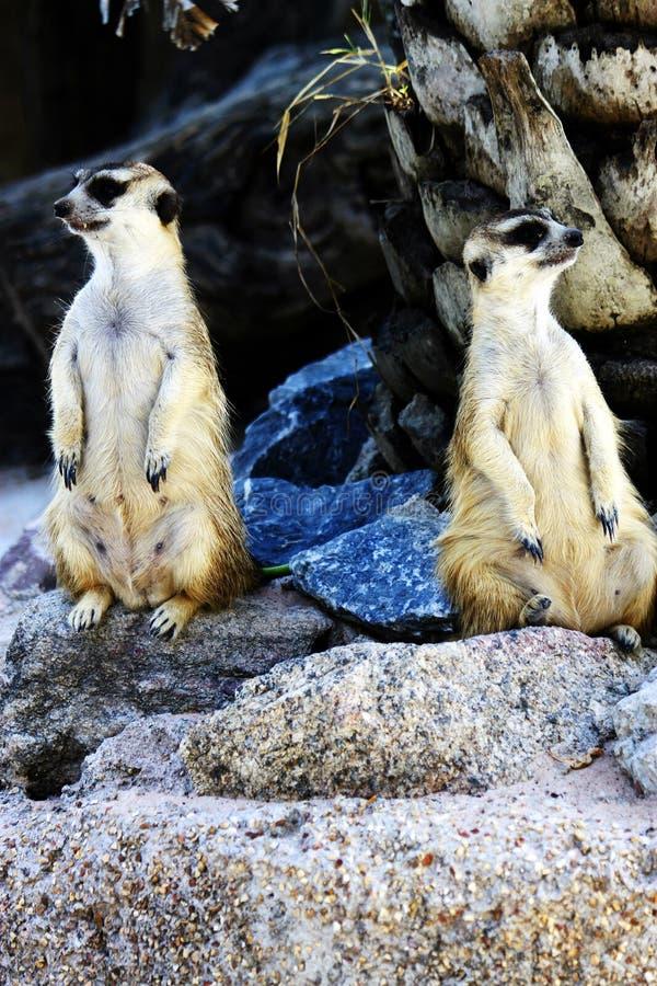 Piccole lemure fotografia stock libera da diritti
