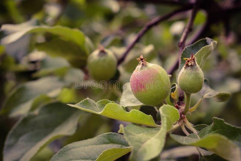 piccole mele non mature su un ramo Primo piano fotografie stock