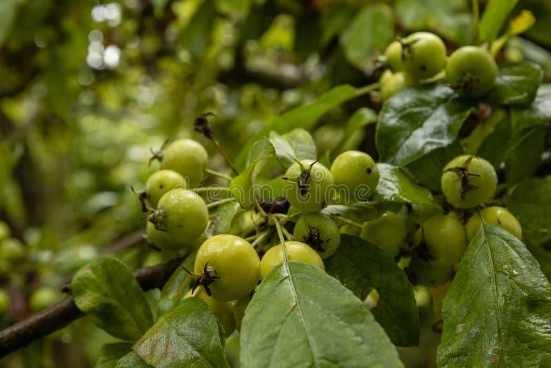 Piccole mele verdi su un albero fotografie stock