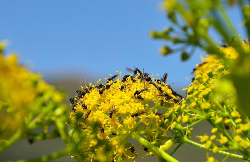 Piccole mosche sui fiori di finocchio fotografie stock