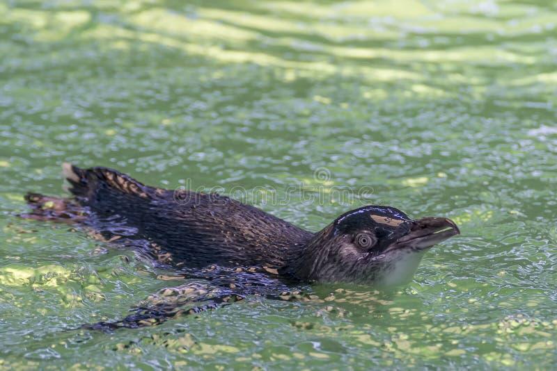 Piccole nuotate sveglie del pinguino all'isola del pinguino, Rockingham, Australia occidentale immagini stock libere da diritti