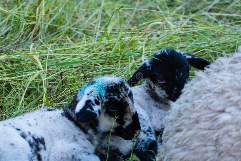 Piccole pecore accanto alle loro pecore della madre immagini stock libere da diritti