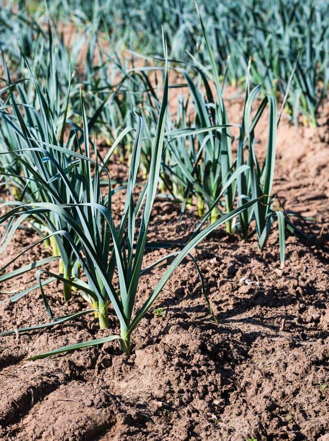 Piccole piante del porro dalla fine fotografia stock for Piccole piantine