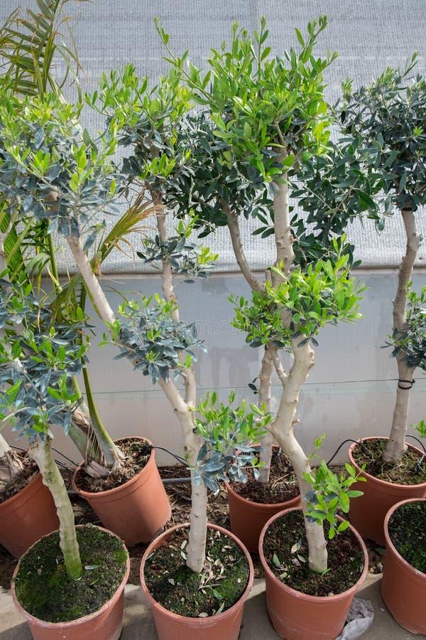 Piccole piante in vaso di olivo dei bonsai fotografie stock