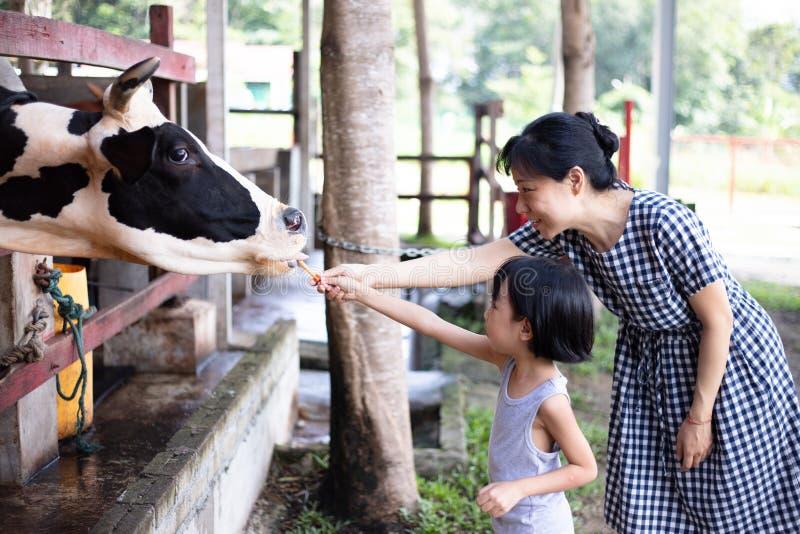 Piccole ragazza asiatica e madre cinesi che alimentano una mucca con la carota fotografie stock libere da diritti