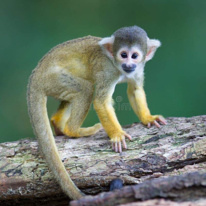 Piccole scimmie scoiattolo comuni sciureus del saimiri for Scimmie piccole domestiche