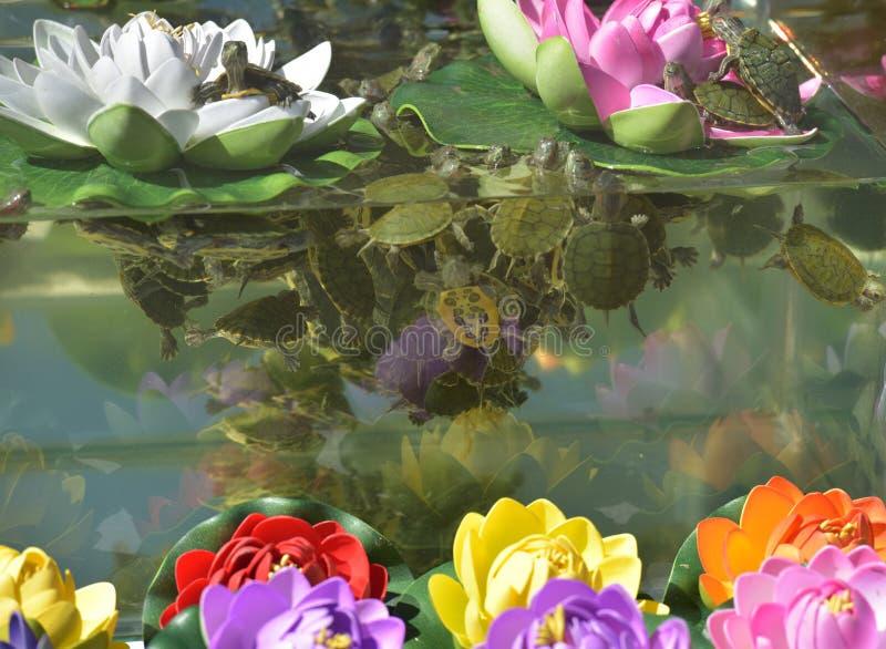 Piccole tartarughe nell 39 acquario fotografia stock for Acquario x tartarughe