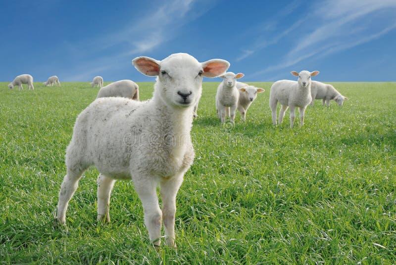 Piccoli agnelli svegli fotografia stock