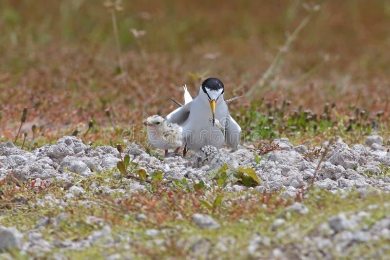 Piccoli albifrons di Sternula della sterna che alimentano gli uccelli di bambino immagine stock libera da diritti
