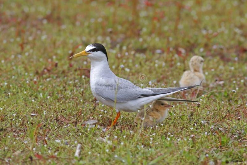 Piccoli albifrons di Sternula della sterna due uccelli di bambino fotografia stock