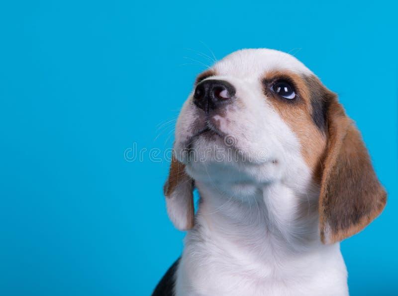 Piccoli Beagles che guardano fotografie stock libere da diritti