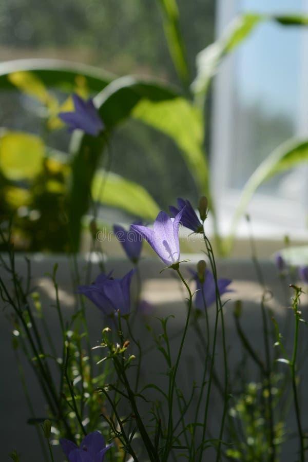 Piccoli bellflowers viola su fondo vago Inverdimento del balcone immagine stock libera da diritti