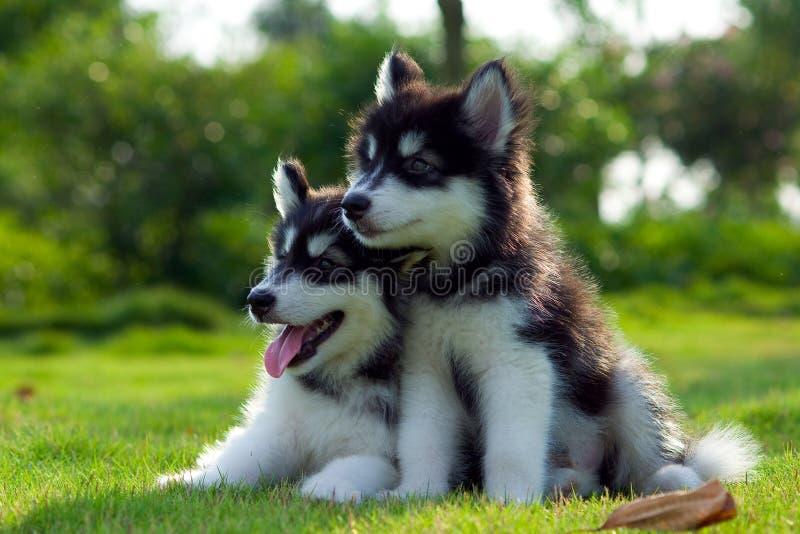 Piccoli cani fotografia stock