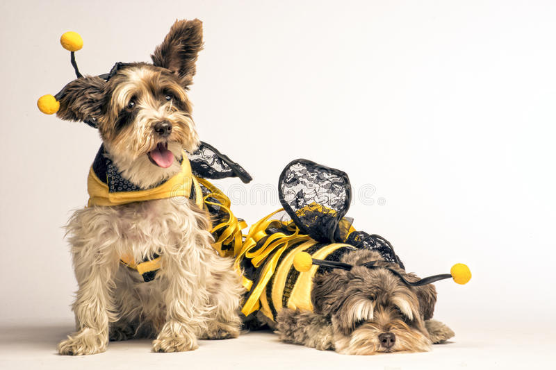 Piccoli cani in costume dell'ape immagine stock libera da diritti